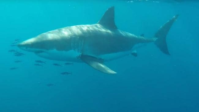 Cam Sutherland filmed a 5.5m great white circling his fishing boat 500m off Long Reef. Picture: Cam Sutherland.