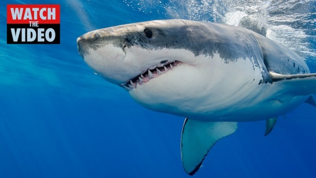 Wild moment huge great white shark charges diving cage