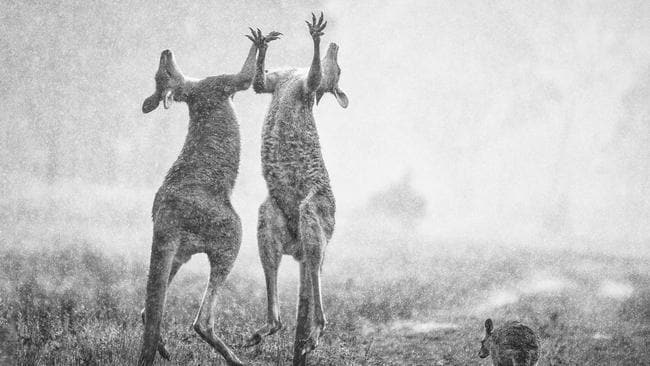 Australian Geographic Nature Photographer of the Year Award image shows young roos in the rain