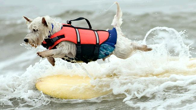 """""""I've had enough"""". Although Joey, 7, is not near shore, the Westie decides to jump off his board anyway half way through. Picture: AP"""