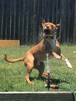 Nacho loving his sprinkler in the summer time Picture: Kayla