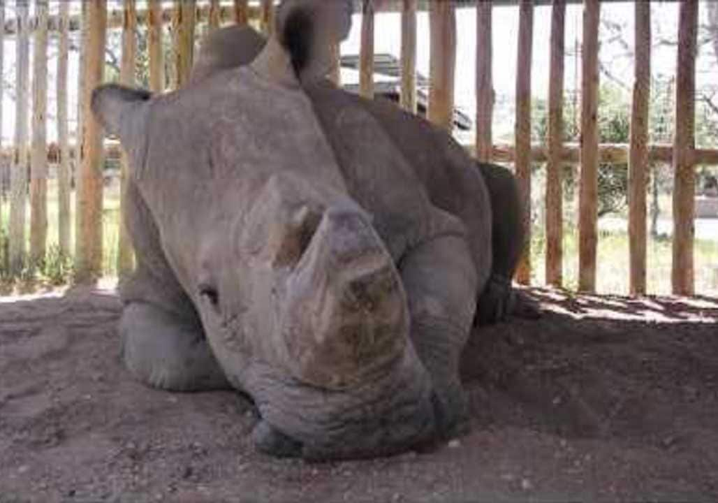 World's Last Male Northern White Rhino Dies in Kenya Sanctuary
