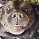 My choc lab Shysie - say cheese! Picture: Kerrie Williams