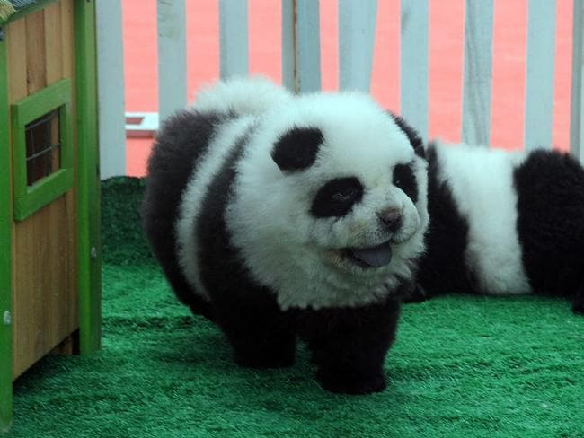 Chow Chow dogs have been painted up like pandas and sold in Chinese pet shops.