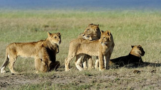 The area is currently home to about five lions.