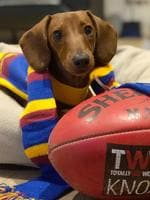 Willow the eight-month-old miniature dachshund has watched every Lions away game, she barks every time someone cheers and even loves to have a little bit of a kick/chew of the football outside. Picture: Brooke, Ringwood