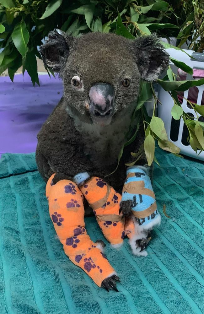 Peter the koala is recovering. Picture: Facebook/Koala Hospital Port Macquarie