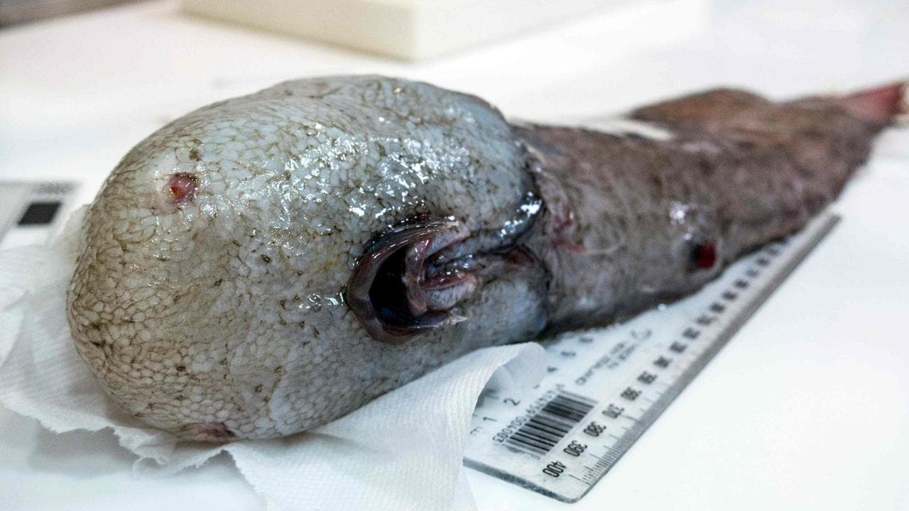 A faceless fish, one of the rarely seen species that live in the deep water of Earth's oceans. Picture: AFP