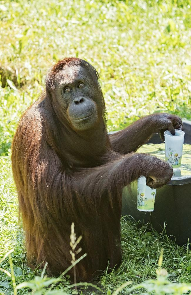 An orang-utan fills his cups with water at the zoo Schoenbrunn in Vienna, Austria. Picture: AP