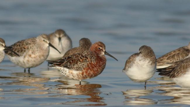 Migratory shorebirds, Curlew Sandpipers. Picture: Martin Stokes
