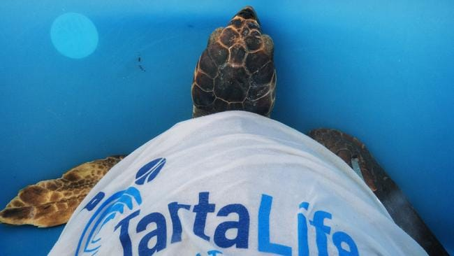 A turtle being cared for on Linosa. Picture: Claudio Palmisano