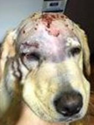 Lola after she was shot at close range. Picture: Supplied