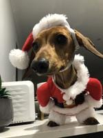 Mabel the dachshund dressed as Santa. Picture: Maddy Sadler