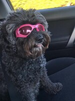 Lola rocking her pooch Prada glasses no the way to the beach. Photo Kate Bell Wilford