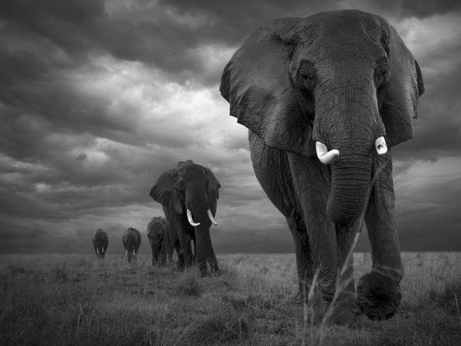 704928572d25 A herd of elephants are seen on a march through a rainy landscape in  Swedish photographer