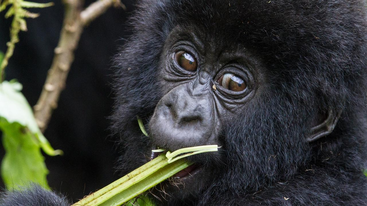 Mountain gorillas, like this one in Rwanda, eat plants. Picture: C. Culbert