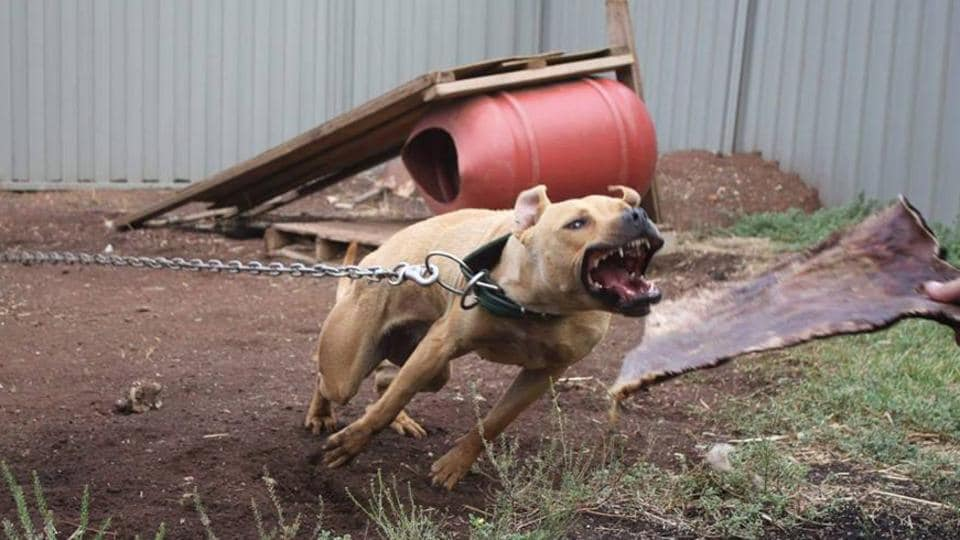 Dog fighting ring Queensland: Pitbulls used in brutal ring in