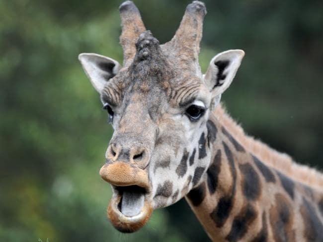A stock image of a giraffe. Mr Carvalho won a number of awards including a Silver Lion at the Cannes Film Festival. Picture: AAP