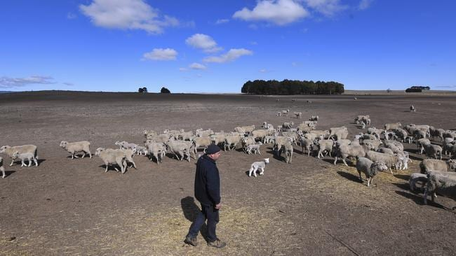 NSW farmer Ian Cargill inspects a flock of sheep on his parcjhed land. The NSW government has declared that 100 per cent of the state was affected by drought. Picture: AAP