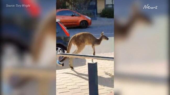 Kangaroo enjoys a morning out at Seacliff