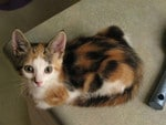 Monet my gorgeous calico as a kitten. Picture: Elizabeth Lowe. Cutest cats in Redcliffe.