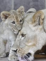 A 3 month old lion cub snuggles up to it's mother at the Henry Doorly Zoo in the US. Picture: AP
