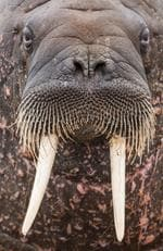 Walrus, Svalbard, Norway. Picture: Will Burrard Lucas/topwilldlifesites.com
