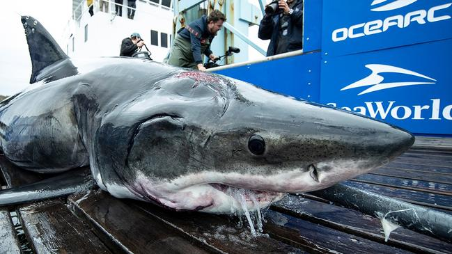 The scars on the head of this 3.88 metre shark, named Vimy, point to the existence of a much larger shark. Picture: OCEARCH/Robert Snow