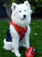 This was taken on one of those rare days that Melbourne actually won a game. These days Sasha, a 10-year-old samoyed, thinks she could get a game in the Dees forward line — she listens to instructions, is very fast over the first 10 metres and with her exceptionally good looks would surely be a fan favourite. Picture: Andrew, Caulfield North