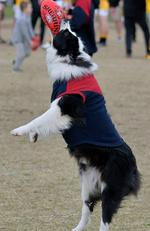 Harley the five-year-old border collie loves to go to local football games and watch the Mt Eliza Redlegs. And he especially loves to have a kick with his dad at half time. Picture: Mary, Mt Eliza