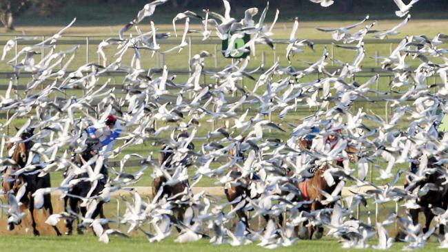 A flock of seagulls at Sandown racecourse in 2005 almost brings down a racefield as jockeys and gallopers collide with hundreds of birds.