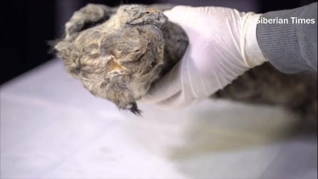 Perfectly preserved cave lion cub found in Siberia