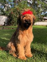 Scout is Annette Andrews' 11-month-old Briard.