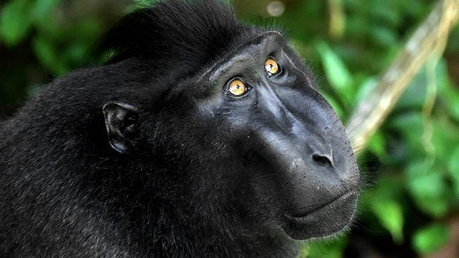 A black crested macaquein the Tangkoko nature reserve in northern Sulawesi. Runaway consumption has decimated global wildlife, triggered a mass extinction and exhausted Earth's capacity to accommodate humanity's expanding appetites, the global conservation group WWF warned on October 30, 2018. Picture: Bay Ismoyo