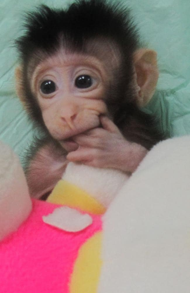 Cloned monkey Hua Hua was born on December 5, 2017, at a research institution in Suzhou in China's Jiangsu province.