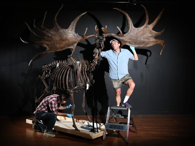 Mike Smith and Tim Moore assemble a Giant elk to go on display. Picture: Carly Earl