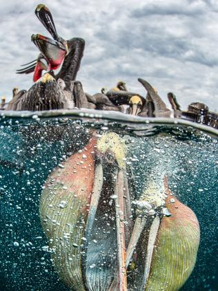 Pelicans flocking around a fishing boat for scraps from the nets. Picture: Simone Caprodossi