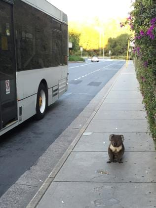 Koalas try to catch a ride on train, bus in Adelaide