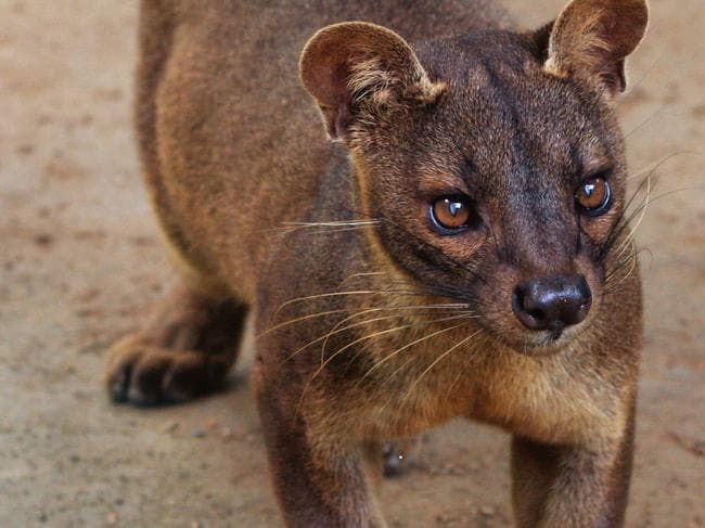 The area where Alana Cutland fell is inhabited by carnivorous fossa cats, which are similar to cougars. Picture: Wikipedia