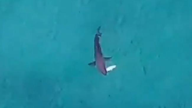 Drone operator Jason Iggleden captured the shark eating what is believed to be a tuna.