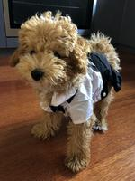 Arlo the moodle puppy, aged 5 months old. Picture: Mel