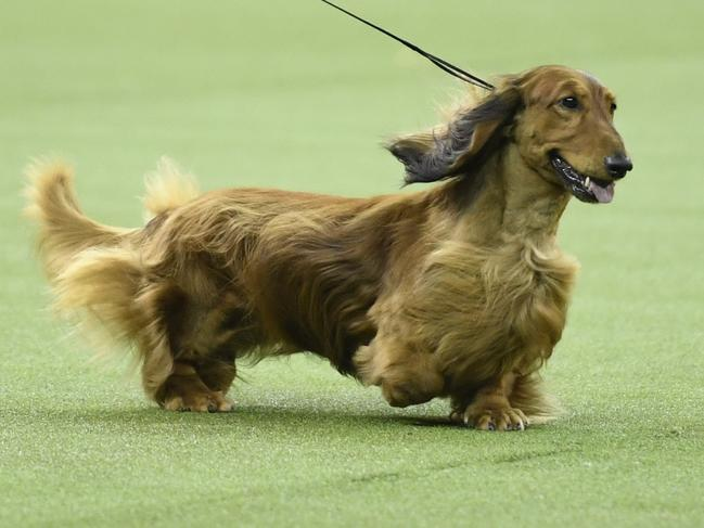 Longhaired Dachshund Burns also thrilled the crowd. Picture: Getty Images/AFP