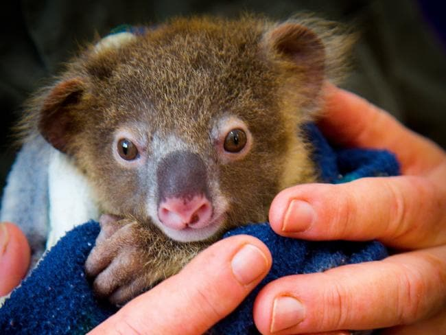 An orphan koala joey held by a rescue carer.