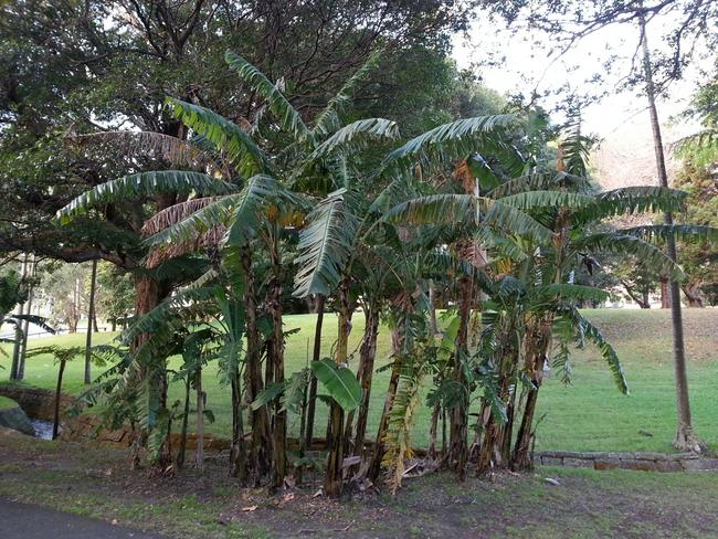 These banana trees at Vaucluse House took a battering during the storms.