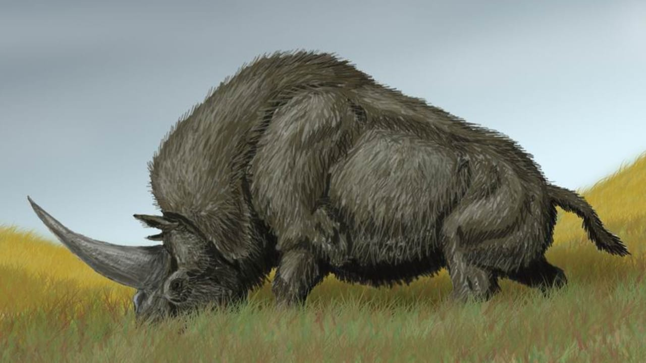 A drawing of Elasmotherium sibiricum known as the Siberian unicorn. Picture: DiBgd/Wikimedia Commons