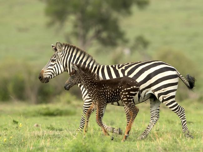 The rare spotted foal running with it's mother. Picture: Rahul Sachdev/Caters News