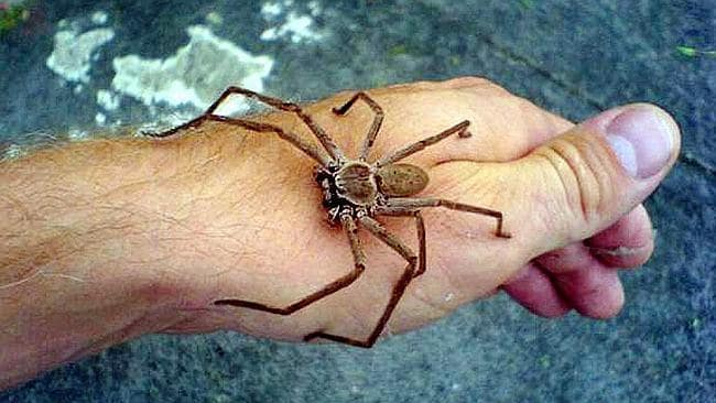 Huntsman Spiders Expected To Migrate Indoors As Weather Cools And