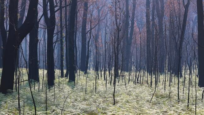 Regrowth is seen near Tambo Crossing beside the Great Alpine Road in the Victorian High Country after bushfires. Picture: AAP