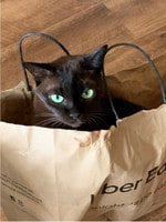 Pash is a chocolate Burmese. She is 12-years-old now but she has never grown out of playing around in paper bags and boxes. Picture: Renee