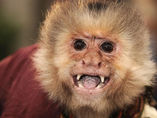 Animal rights activists are up in arms about the monkey's treatment. Picture: Steve Granitz/WireImage